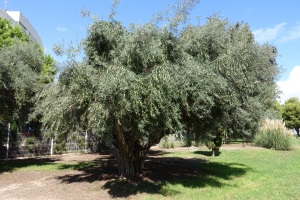 ...and this is where those olives came from at this different restaurant we were at.  The chef here walks across the street from the restaurant and bangs the alines with a broom handle off the tree then soaks them in a marinade for 3 months.  Now that's tree to table!