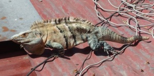 Just outside our room was Juan Julio, our private guard Iguana.